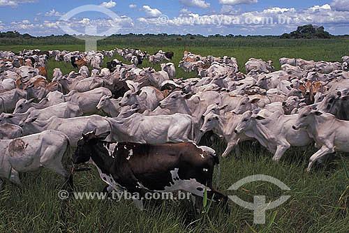 Pecuária - Gado pastando no Pantanal - Mato Grosso - Brasil. Data: 2005