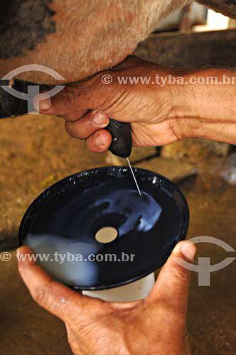 Homem tirando leite de vaca - Fazendas próximas a São Fidélis - Rio de Janeiro - BrasilData: 01/12/2006