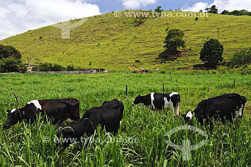 Vacas leiteiras no pasto - Fazendas próximas a São Fidélis - Rio de Janeiro - BrasilData: 01/12/2006