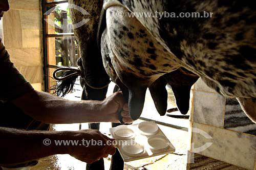 Homem ordenhando vaca - Fazendas próximas a São Fidélis - Rio de Janeiro - BrasilData: 01/12/2006