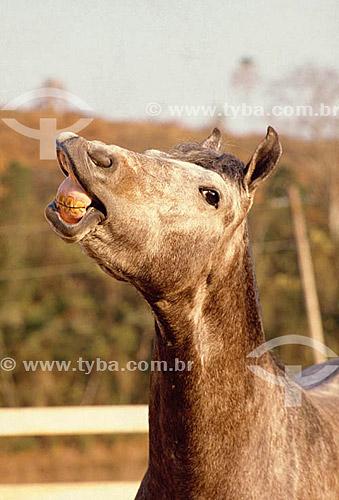 Agropecuária / pecuária (cavalo) : perfil de cavalo sda raça MangaLarga  (2005)