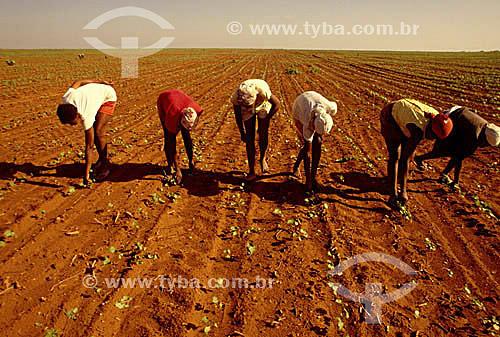 Assunto: Trabalho infantil em plantação de algodãoLocal: Região de Bom Jesus da Lapa - Bahia - BrasilData: 2002