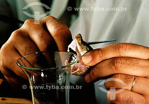Homem extraindo veneno de cobra - Instituto Butantan - SP - Brasil - 08-12-1989  - São Paulo - São Paulo - Brasil