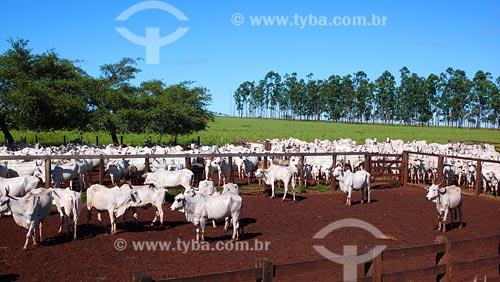 Assunto: Vacas da raça Nelore / Local: Uberlândia - MG / Data: 03/2008