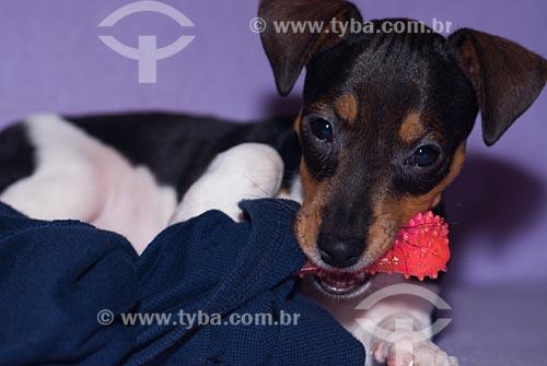 Assunto: Cão da raça Jack Russell Terrier mordendo brinquedo em forma de osso