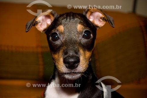 Assunto: Cão da raça Jack Russell Terrier