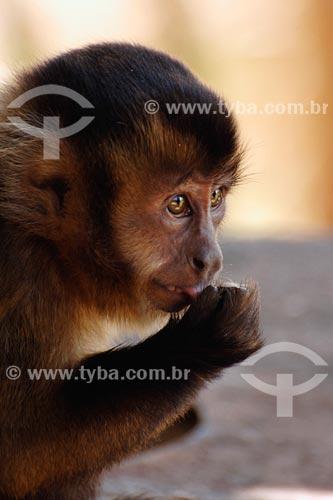 Assunto: Macaco prego - Recanto dos Colibris - Vila Palmares 1 / Local: Parauapebas - PA / Data: 08/2008