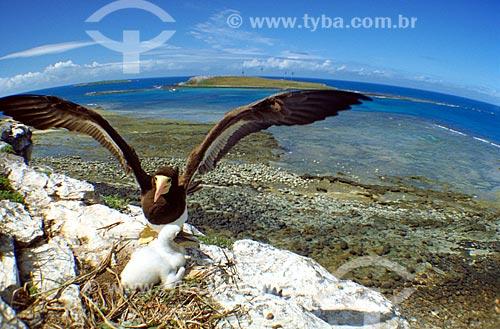 Assunto: Atobá marrom (Sula leucogaster) com seu filhote / Local: Parque Nacional Marinho dos Abrolhos - BA / Data: 08/2008