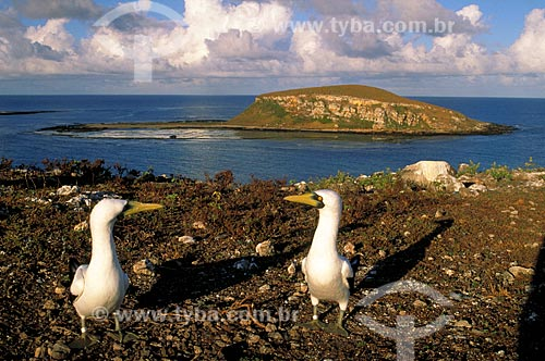 Assunto: Atobás brancos (Sula dactylatra) / Local: Parque Nacional Marinho dos Abrolhos - BA / Data: 08/2008