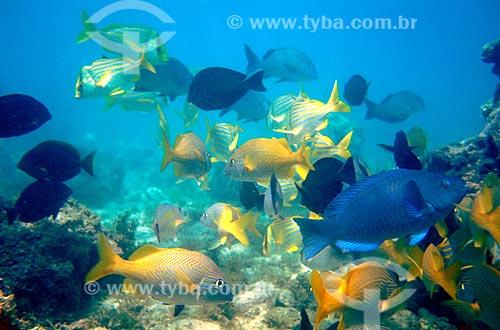 Assunto: Budião (peixe azul) e outros peixes / Local: Parque Nacional Marinho dos Abrolhos - BA / Data: 08/2008
