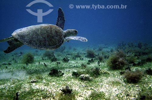 Assunto: Tartaruga verde (Chelonia mydas) / Local: Parque Nacional Marinho dos Abrolhos - BA / Data: 08/2008