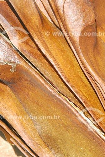 Assunto: Sementes da Amazônia - Mogno (Swietenia Macrophylla) / Local: Almerim (PA) / Data: 13 de  Junho de 2006