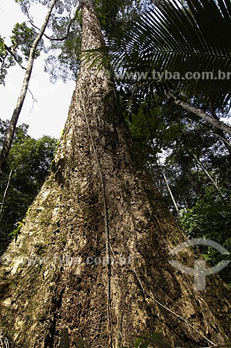 Assunto:  Mandioqueira Escamosa / Local: Almerim (PA) / Data: 14 de Junho de 2006