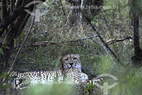 Assunto: Chita - Parque Hluhluwe Imfolozi / Local: Hluhluwe - Kwazulu Natal - África do Sul / Data: 14 de Março de 2007