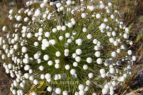 Assunto: Chuveirinho (Paepalanthus) no Parque Estadual dos Pireneus / Local: Pirenópolis (GO) / Data: 27 de Maio de 2007