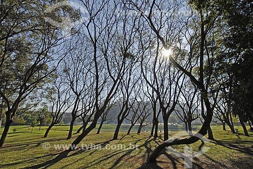 Assunto: Parque do Ibirapuera - Jacarandá-mimoso (Jacaranda Mimosaefolia) no inverno / Local: São Paulo (SP) / Data: 06 de Setembro de 2007