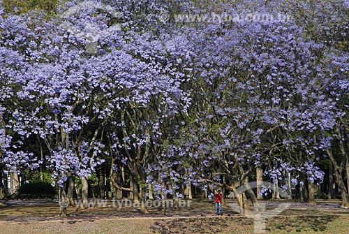 Assunto: Parque do Ibirapuera - Jacarandá-mimoso (Jacaranda Mimosaefolia) na primavera / Local: São Paulo (SP) / Data: 10 de Abril de 2007