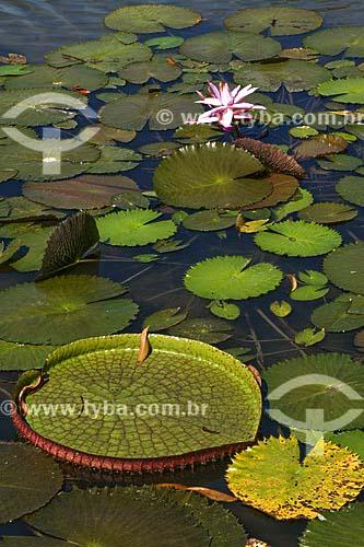 Assunto: Vitória-Régia (Victoria amazonica) / Local: Floresta Amazônica (PA) / Data: 17 de Julho de 2008