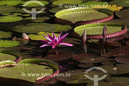 Assunto: Vitória Régia (Victoria amazônica) / Local: Floresta Amazônica (PA) / Data: 07/2008