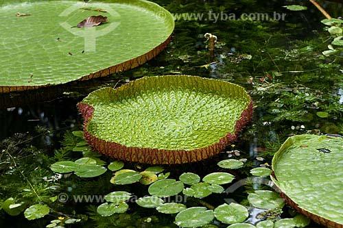 Assunto: Vitoria régia (Victoria amazônica) / Local: Floresta Amazônica (PA) / Data: 25 de Julho de 2008
