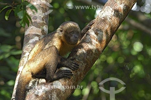 Assunto: Macaco-prego-de-peito-amarelo (Cebus xanthosternos), espécie rara e ameaçada de extinção / Local: Mata Atlântica - Bahia - Brasil / Data: Maio de 2007