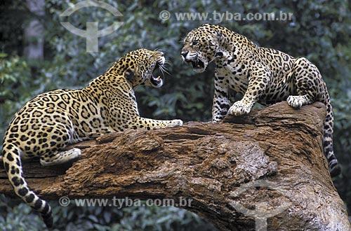 Assunto: Onças-pintadas (Panthera onca) disputando um lugar em tronco caído / Local: Zoológico da Vale do Rio Doce - Carajás - Pará (PA) - Brasil / Data: Junho de 2006