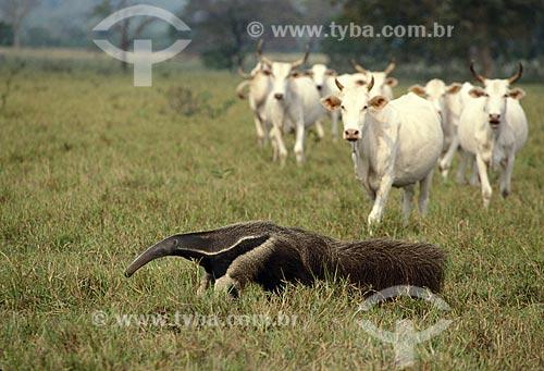 Assunto: Tamanduá-bandeira (Myrmecophaga tridactyla), mamífero desdentado ameaçado de extinção,com gado ao fundo / Local: Pantanal Matogrossense - Mato Grosso do Sul (MS) - Brasil / Data: Maio de 2008