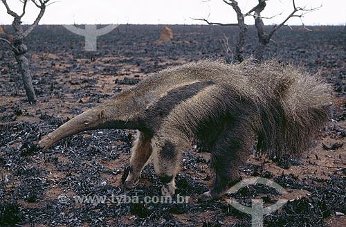 Assunto: Tamanduá-bandeira (Myrmecophaga tridactyla), mamífero desdentado ameaçado de extinção em meio ao Cerrado queimado / Local: Parque Nacional das Emas - Goiás (GO) - Brasil / Data: Agosto de 2002