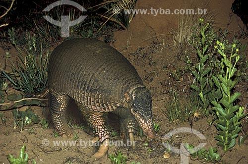 Assunto: Tatu-canastra (Priodontes maximus), mamífero noturno, ameaçado de extinção / Local: Parque Nacional das Emas - Goiás (GO) - Brasil / Data: Novembro de 2003