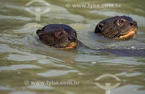 Assunto: Ariranhas (Pteronura brasiliensiis) no Rio Pixaim / Local: Pantanal Matogrossense - Mato Grosso (MT) -  Brasil / Data: Outubro de 2004