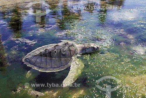 Assunto: Tartaruga Oliva (Lepidochelys olivacea) - Tartaruga Marinha / Local: Litoral Norte da Bahia (BA) - Brasil / Data: Dezembro de 2005