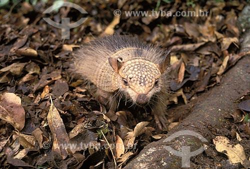 Assunto: Tatu-peludo-grande (Chaetophractus villosus) / Local: / Data: Março de 2006