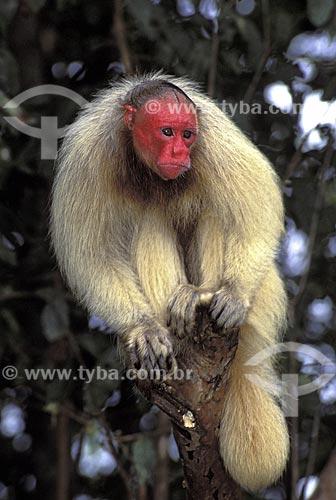 Assunto: Uacari-branco (Cacajao calvus calvus) - Espécie ameaçada de extinção / Local: Várzea da Reserva de Desenvolvimento Sustentável Mamirauá - Amazonas (AM) - Brasil / Data: Agosto de 2006