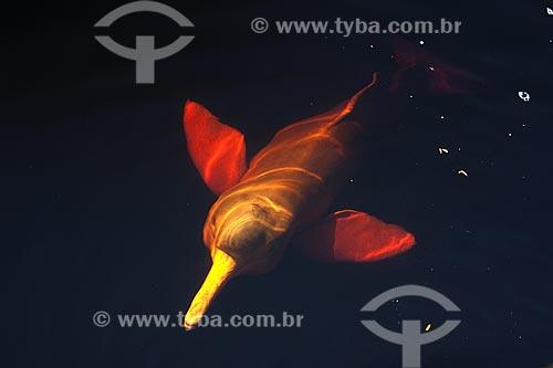 Assunto: Boto-vermelho (Inia geoffrensis) no rio Negro, em Novo Airão / Local: Rio Negro - Amazonas (AM) - Brasil / Data: Julho 2007
