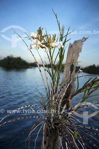 Assunto: Orquídea Galeandra devoniana em lago da ESEC Anavilhanas /Local: Rio Negro - Amazonas (AM) - Brasil / Data: Julho 2007