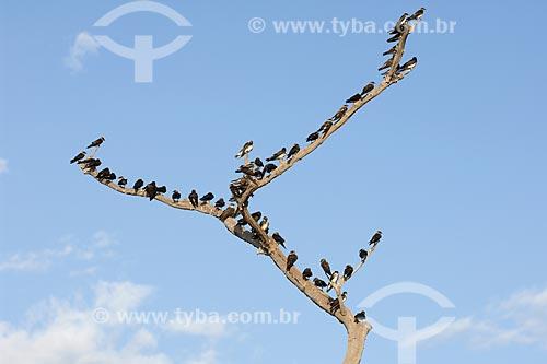 Assunto: Andorinhas-do-campo (Phaeoprogne tapera) na ESEC Anavilhanas / Local: Rio Negro - Amazonas (AM) - Brasil / Data: Julho 2007