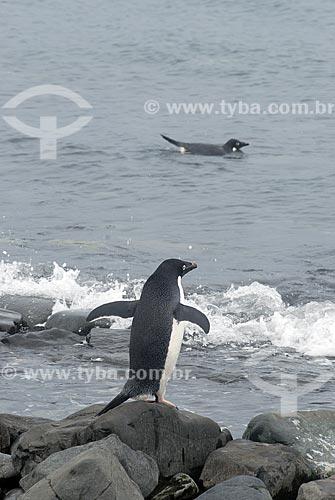 Assunto: Pinguim