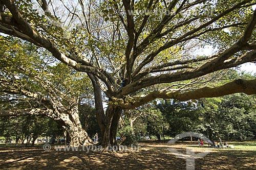Assunto: Figueira ( Ficus Benghalensis ) no Parque do Ibirapuera / Local: São Paulo - São Paulo (SP) - Brasil / Data: 2008