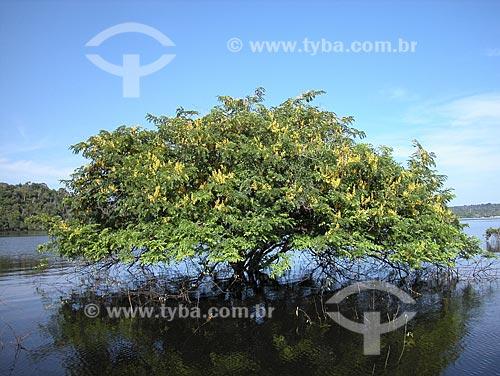 Assunto: Árvore Mari-mari (Cassia leiandra) - Lago de Silves - Perto do Rio Amazonas / Local: Silves - Amazonas -  Brasil / Data: Setembro de 2003