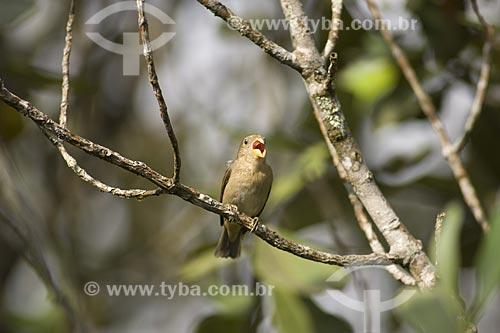 Assunto: Cigarra-verdadeira (Sporophila falcirostris) - Espécie rara e ameaçada de extinção - Associada às taquaras e bambus na Mata Atlântica da APA Serrinha do Alambari / Local: Resende - RJ - Brasil / Data: Agosto de 2006