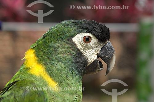 Assunto: Maracanã-de-colar (Propyrrhura auricollis) / Local: Bolívia /Data: Abril de 2006