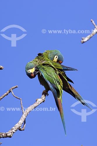Assunto: Casal de Maracanãs-verdadeiras (Primolius (=Propyrrhura) / Local: Fazenda Torrão de Ouro - Perto de Alvinlândia - SP -  Brasil / Data: Outubro de 2006