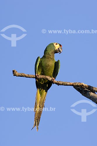 Assunto: Maracanã-verdadeira (Primolius (=Propyrrhura) / Local: Fazenda Torrão de Ouro - Perto de Alvinlândia - SP -  Brasil / Data: Outubro de 2006
