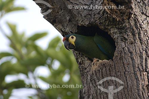 Assunto: Maracanã-verdadeiras (Primolius (=Propyrrhura) maracana) na porta do ninho / Local: Fazenda Torrão de Ouro - Perto de Alvinlândia - SP -  Brasil / Data: Outubro de 2006