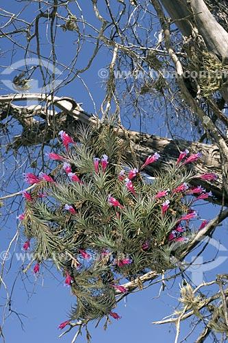 Assunto: Bromélia (Tillandsia tenuifolia ) - Epífita num Guapuruvu morto / Local: Fazenda Torrão de Ouro - Alvinlândia - São Paulo - Brasil / Data: Outubro de 2006