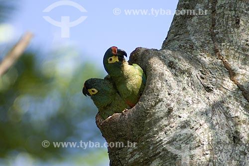 Assunto: Casal de Maracanãs-verdadeiras (Primolius (=Propyrrhura) maracana) na porta do ninho / Local: Fazenda Torrão de Ouro - Perto de Alvinlândia - SP -  Brasil / Data: Outubro de 2006