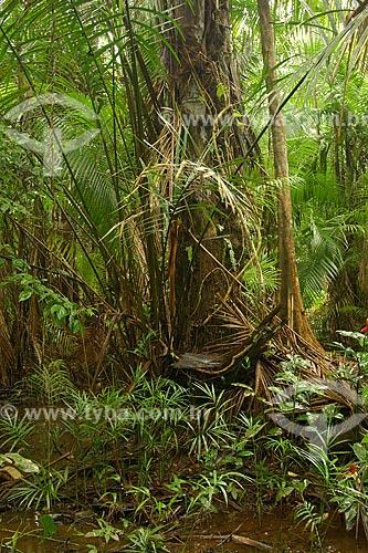Assunto: Brotos de Jupati (Raphia taedigera)  - Várzea da Ilha de Combu / Local: Em frente a Belém - Pará - Brasil / Data: Fevereiro de 2006
