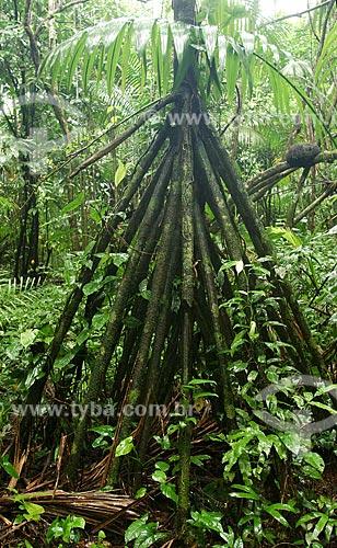 Assunto: Raízes da Paxiúba (Socratea exorrhizae) - Várzea da Ilha de Combu /Local: Em frente à Belém - Pará - Brasil / Data: Fevereiro de 2006