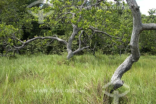 Assunto: Vegetação no Lavrado de Roraima / Local: Ilha de Maracá - Roraima - Brasil / Data: Janeiro de 2006