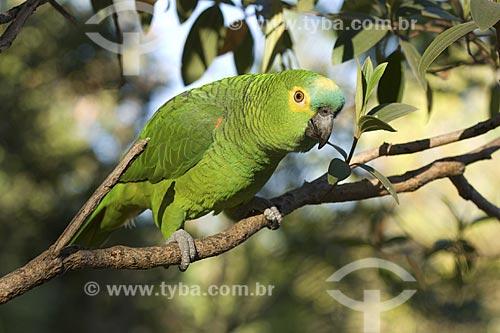 Assunto: Papagaio-verdadeiro (Amazona aestiva) - Chapada dos Veadeiros / Local: Goiás (GO) -  Brasil / Data: Agosto de 2007